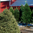 Trees for sale at a Christmas tree farm — Stock Photo