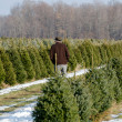 A Man searches for a perfect Christmas tree — Stock Photo