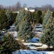 Michigan Christmas tree farm — Stock Photo