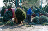 Working at a Christmas tree farm — Stock Photo