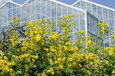 Blossoms and greenhouse — Stock Photo