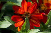 Beautiful burnt orange flower — Stock Photo