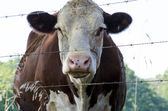 Cow and barbed wire — Stock Photo