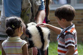 Children pet a skunk at a school show and tell event — Stock Photo