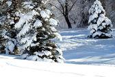Snow iced trees — Stock Photo