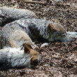 Sleeping wolf pack — Stock Photo