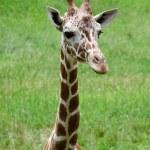 Постер, плакат: Baby giraffe portrait