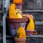 Decorative gourds in terra cotta pots — Stock Photo