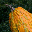 Stock Photo: Bumpy orange gourd