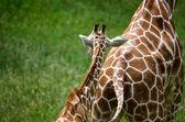 Baby giraffe follows mom — Stock Photo