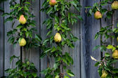 Unique pear tree growing on a wall — Stockfoto