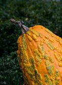 Bumpy orange gourd — Stock Photo