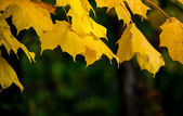 Golden canopy of leaves — Foto Stock