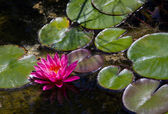 Pink water lily reflected in a pond — Stock Photo