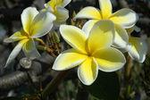 Rangipani Plumeria flower — Stock Photo