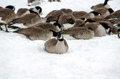 Geese searching for food — Stock Photo