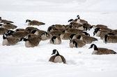 Gansos en el hielo — Foto de Stock