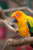 Sun parakeet — Stock Photo