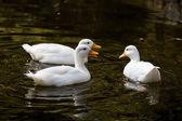Domesticated duck — Stock Photo