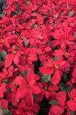 圣诞植物 — 图库照片