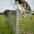 Dog jumping over an outdoor dog park fence — Stock Photo