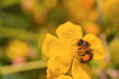 Honey bee collects nectar on a yellow flower — Stock Photo