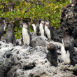 Several Galapagos Penguins — Stock Photo