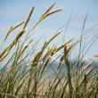 Grasses blow on sand dunes — Stock Photo