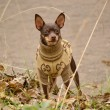 Funny little dog on autumn walk in overalls — Photo