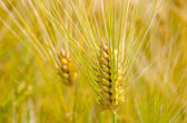 Green Wheat ear — Stock Photo