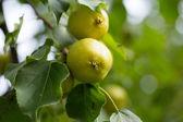 Wild Pear — Stock Photo