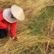 Stock Photo: Working woman cutting rice in the fields