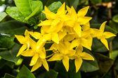 Yellow ixora flower — Stock Photo