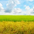 Stock Photo: Wide Cornfield in blue sky