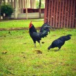 Black chickens. — Stock Photo #34390763