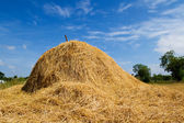 Rice straw — Stock Photo