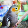 Cheeks yellow parrot — Stock Photo