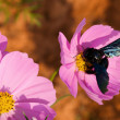 Stock Photo: Cosmos flowers and bee