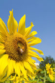 Sunflower and bee — Stock Photo