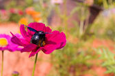Cosmos flowers and bee — Stock Photo