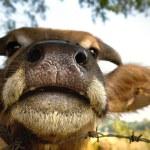 Buffalo nose — Stock Photo
