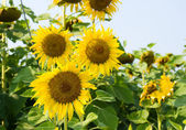 Sunflower blossoming — Stock Photo