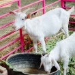 White goat — Stock Photo #40447089