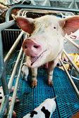 母豚とピグレット — ストック写真