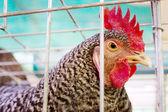 Female gray hen — Stock Photo