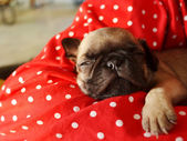 Pug puppy — Stock Photo