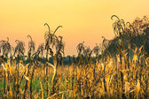 Corn field at sunset — Stock Photo