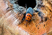 Red palm weevil — Stockfoto