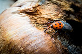Red palm weevil — Stock Photo