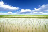 Ris äng — Stockfoto